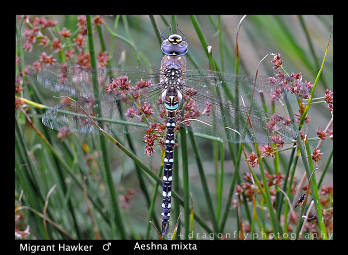 Aeshna mixta Migrant Hawker WP