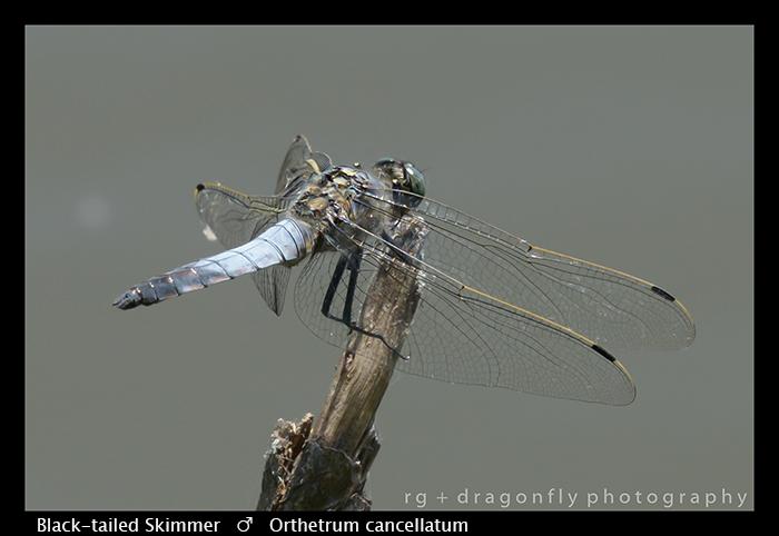 Black-tailed Skimmer (m) Orthetrum cancellatum WP 8-3-8468