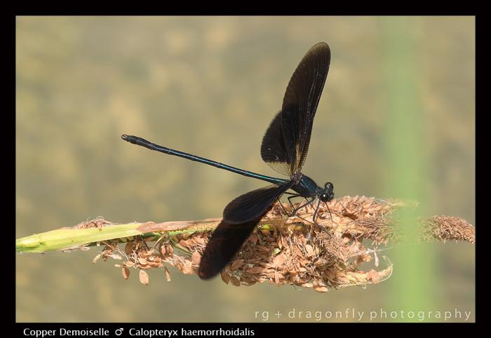Calopteryx haemorrhoidalis (m) Copper Demoiselle 8-0668-15-700x482