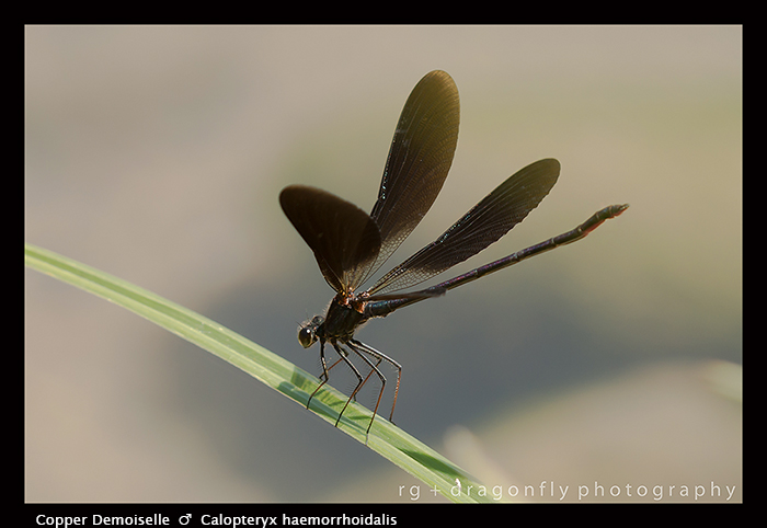 Calopteryx haemorrhoidalis (m) Copper Demoiselle 8-1992 WP