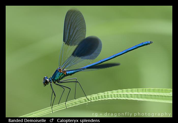 Calopteryx splendens (m) Banded Demoiselle WP 8-3 8301