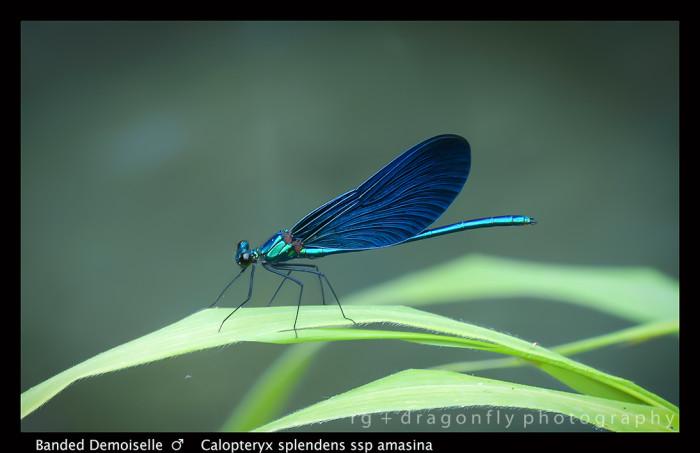 Calopteryx splendens ssp amasina (m) Banded Demoiselle 8-0261 A-1-700x453