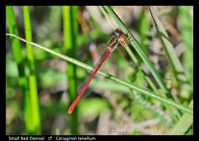 Ceriagrion tenellum (m) Small Red Damsel WP