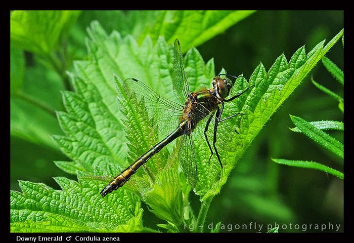 Cordulea aenea (m) Downy Emerald WP D 1 CS5-1