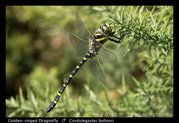 Cordulegaster boltonii (m) Golden-ringed Dragonfly WP 8-3-9384