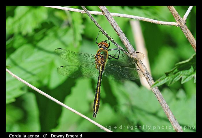 Cordulia aenea (m) Downy Emerald WP