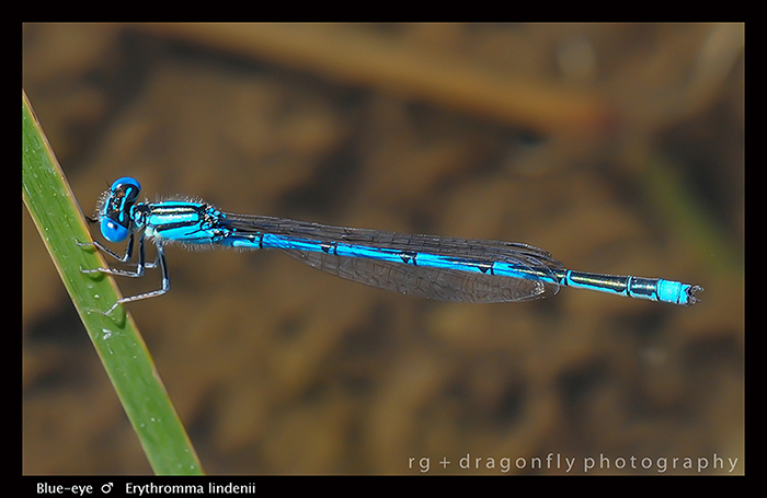 Erythromma lindenii (m) Blue-eye D 5828-WP