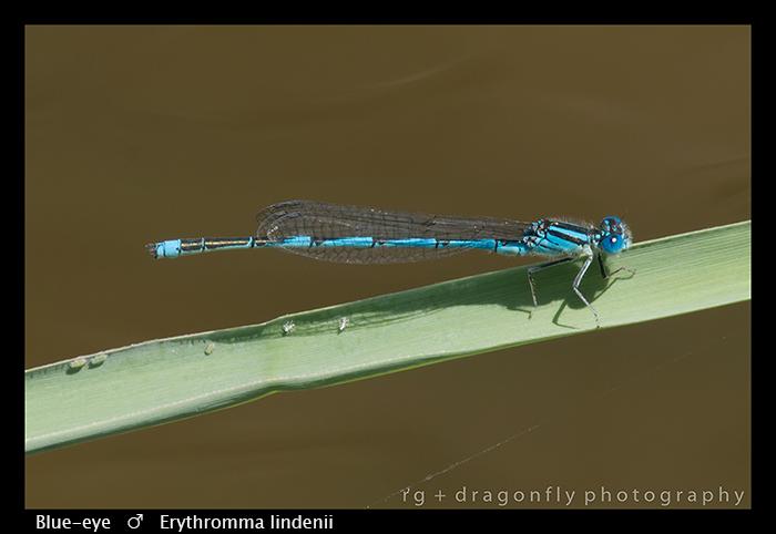 Erythromma lindenii (m) Blue -eye WP 8-3-8039