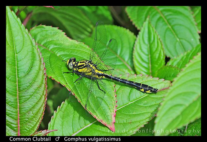 Gomphus vulgatissimus (m) Common Clubtail WP