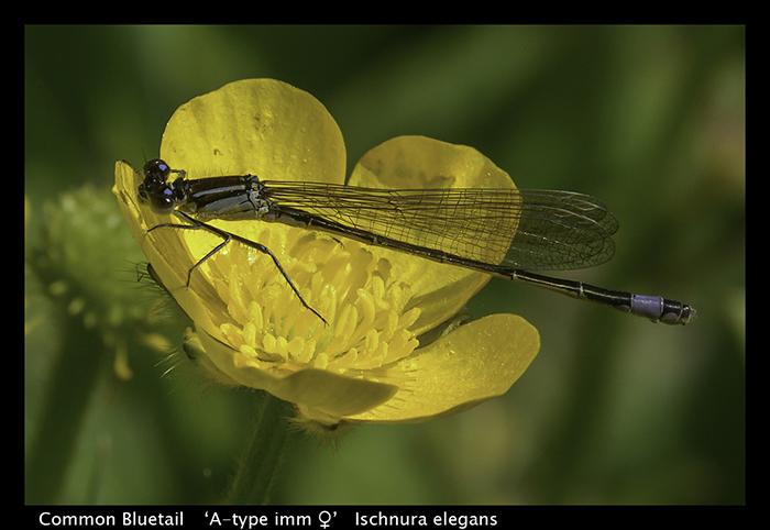Ischnura elegans Common Bluetail WP 8-7556