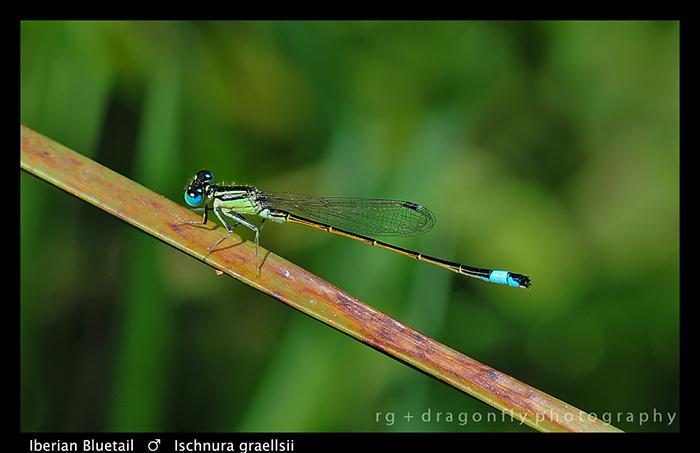 Ishnura graellsii (m) Iberian Bluetail D4973 WP