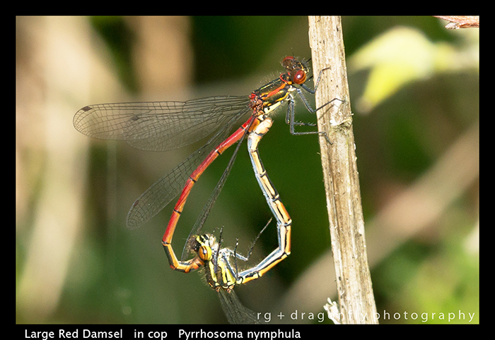 Large Red Damsel - in cop - Pyrrhosoma nymphula WP 8-7629