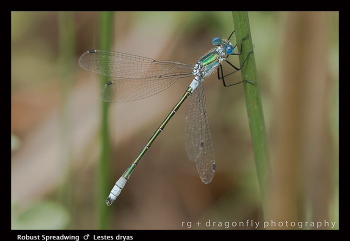 Lestes dryas (m) Robust Spreadwing 8 - 1705 WP