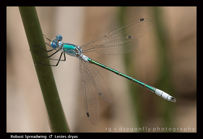 Lestes dryas (m) Robust Spreadwing 8 - 1717 WP