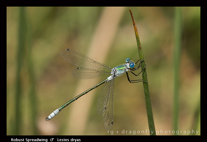Lestes dryas (m) Robust Spreadwing 8 - 1815 WP