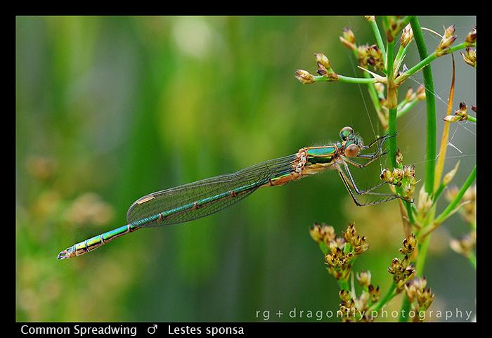 Lestes sponsa (m) Common Spreadwing WP 3-4198