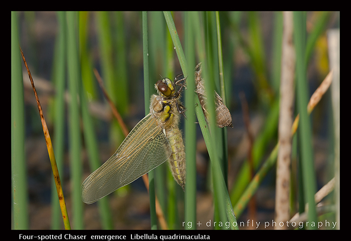 Libellula quadrimaculata emergence Four-spotted Chaser