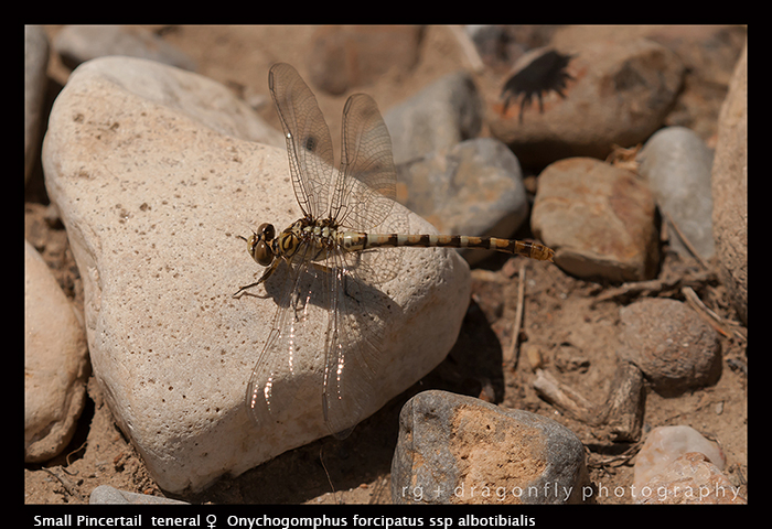 Onychogomphus forcipatus ssp albotibialis (ten f) Small Pincertail 3-6404 WP