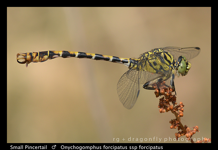 Onychogomphus forcipatus ssp forcipatus (m) Small Pincertail WP 8-3-8672