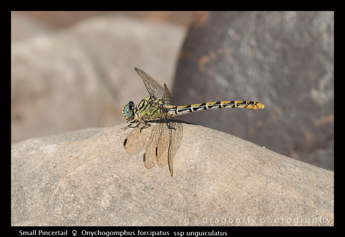 Onychogomphus forcipatus ssp unguiculatus (f) Small Pincertail 8-0990-700x482