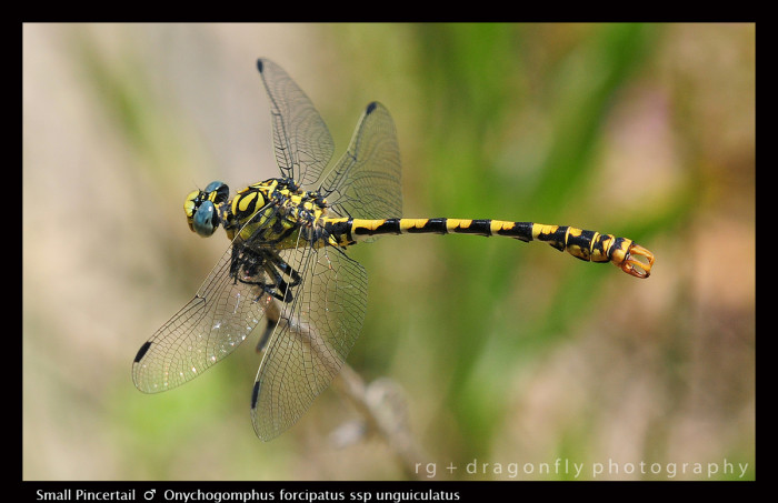 Onychogomphus forcipatus ssp unguiculatus (m) Small Pincertail D 5738 -1-700x453