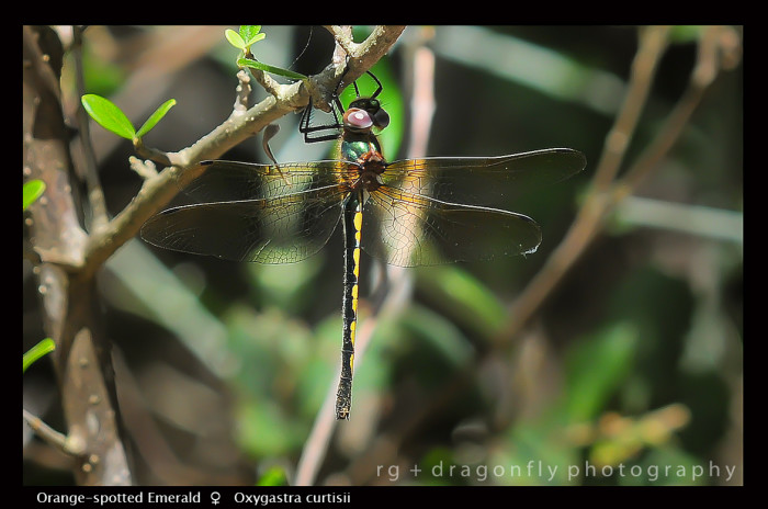 Oxygastra curtisii (f) Orange - spotted Emerald D 5636 -1-700x464