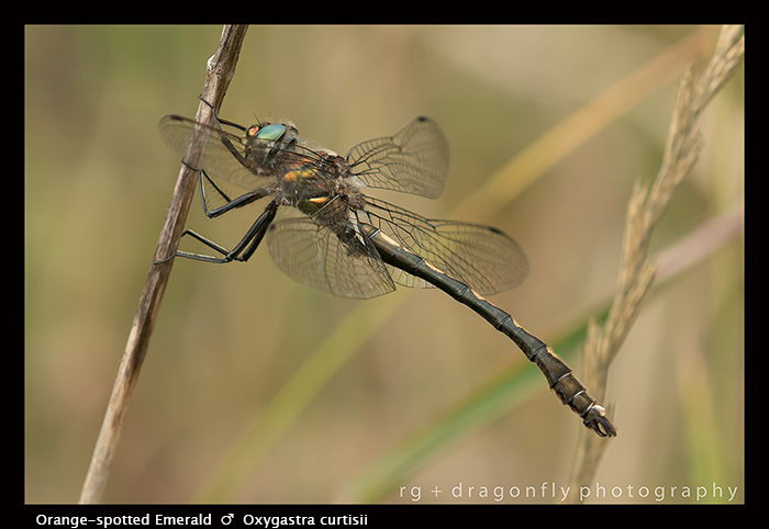 Oxygastra curtisii - m - Orange-spotted Emerald 8-1905-1 WP