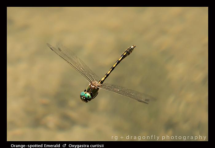 Oxygastra curtisii - m - Orange-spotted Emerald 8-2028 WP