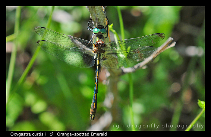 Oxygastra curtisii (m) Orange - spotted Emerald D 5645 WP