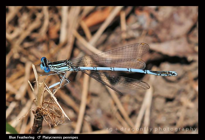 Platycnemis pennipes (m) Blue Featherleg D 4096 WPjpg