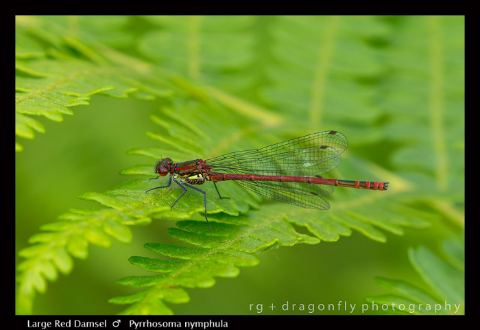 Pyrrhosoma nymphula (m) Large Red Damsel 8-0545-700x481