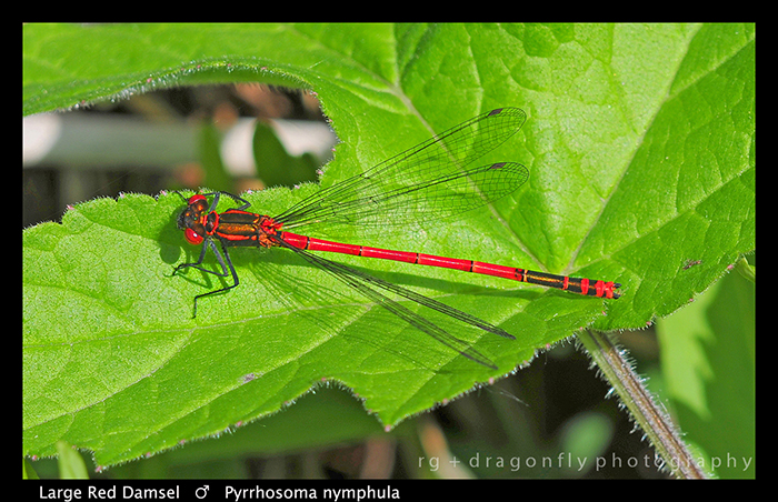 Pyrrhosoma nymphula (m) Large Red Damsel WP