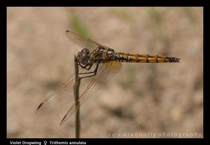 Trithemis-annulata-f-Violet-Dropwing-8-1497-WP-