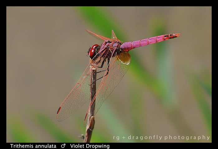 Trithemis annulata (m) Violet Dropwing WP