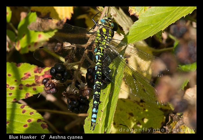 Aeshna cyanea (m) Blue Hawker WP 8-3-9868