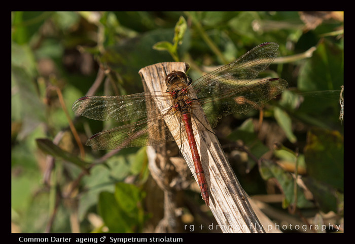 Sympetrum striolatum (ageing m) Common Darter 8-1159 -700x481