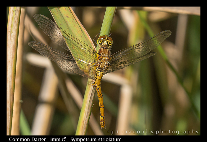 Sympetrum striolatum (imm m) Common Darter WP 8-2-9602