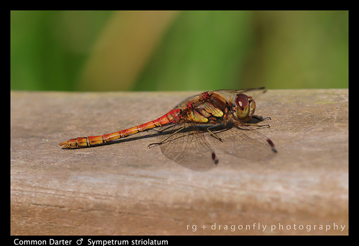 Sympetrum striolatum (m) Common Darter D535 3WP