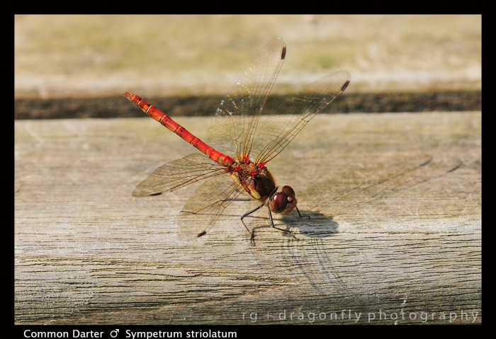 Sympetrum striolatum (m) Common Darter D5355 A-1-700x479