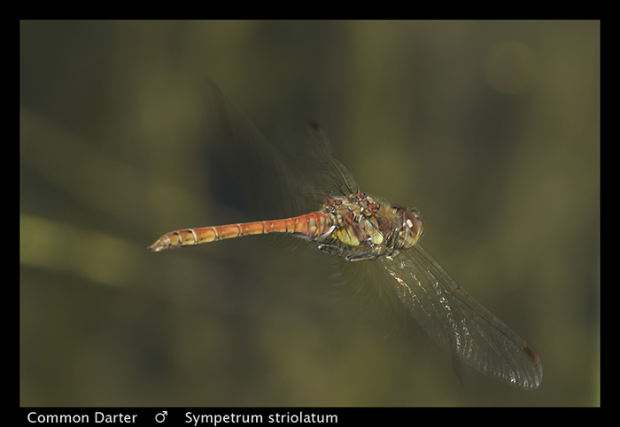 Sympetrum striolatum (m) Common Darter WP 8-3-9076