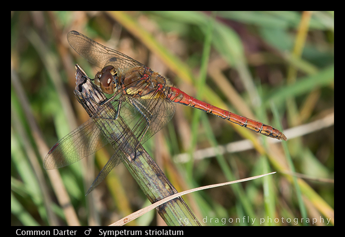 Sympetrum striolatum (m) Common Darter WP 8-9589