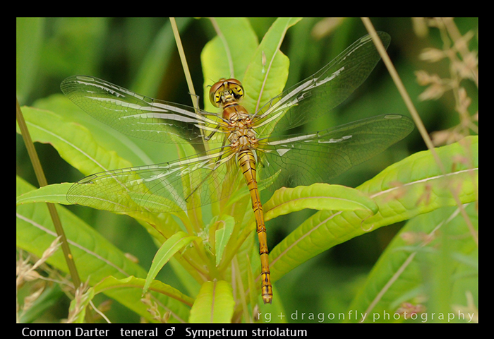 Sympetrum striolatum (ten m) Common Darter WP 3-6862