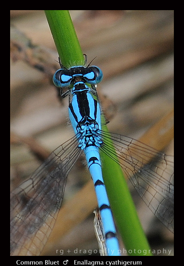 Enallagma cyathigerum (m) Common Bluet D 1-1.jpg
