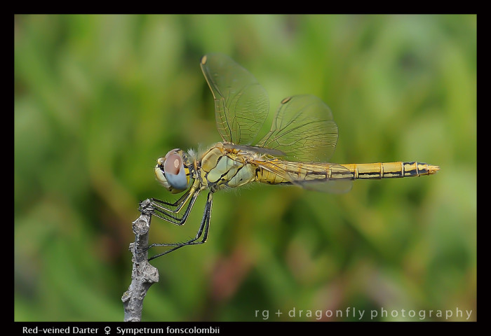 Sympetrum foscolombii (f) Red -veined Darter D 3 CS5-1.jpg