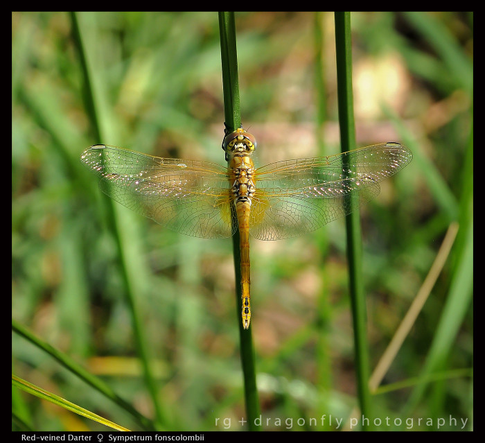 Sympetrum foscolombii (f) Red -veined Darter D 4 CS5-1.jpg