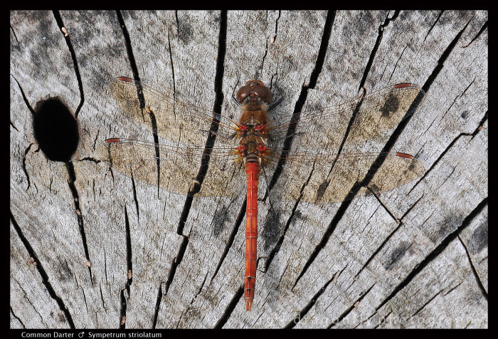 Sympetrum striolatum (m) Common Darter 3-1.jpg