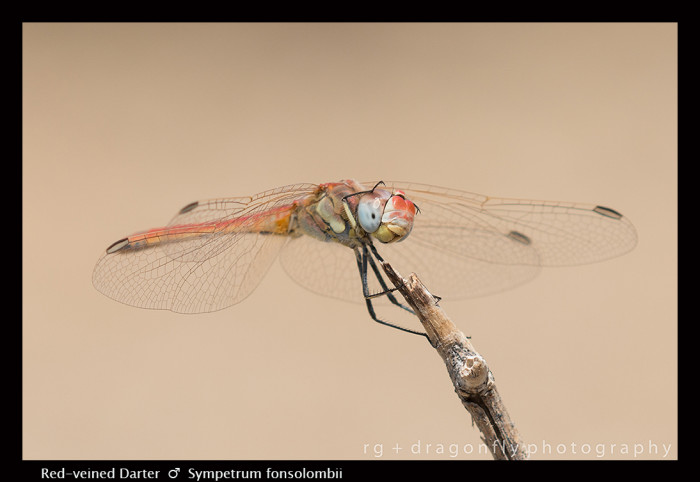 Sympetrum fonscolombii (m) Red -veined Darter 8-1080.jpg