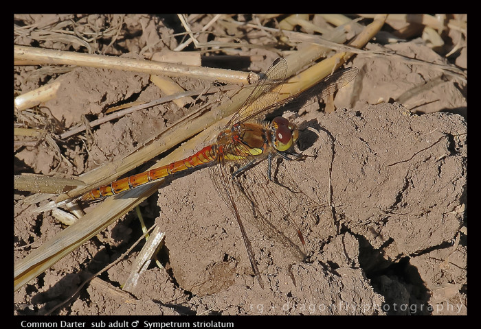 Sympetrum striolatum ( sub ad m) Common Darter D1 CS5-1.jpg