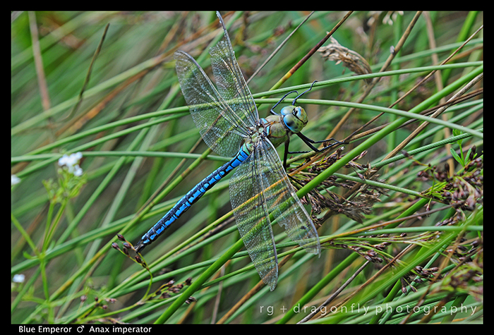 Anax imperator (m) Blue Emperor D 4589 W - 700