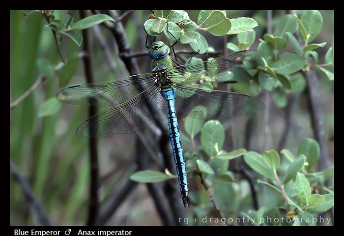Anax imperator (m) Blue Emperor S 725 CS5-1- 700